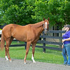 British Idiom at WinStar Farm on June 16, 2020. Photo: Anne M. Eberhardt
