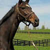 Caption: <br /> Vertigineux, dam of Zenyatta, Balance, and others with her 2011 Henrythenavigator filly born on April 2, 2011, at Ashford Stud near Versailles, Ky. Photographed on  on April 13, 2011.<br /> Vertigineux Image 819<br /> Photo by Anne M. Eberhardt