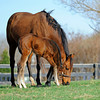 Caption: hanging with mom and trying some grass<br /> Lotta Kim produced a full sister to Rachel Alexandra on Feb. 27, 2011, at Dr. Dede McGehee's Heaven Trees Farm near Lexington, Ky. Photographed on March 12, 2011, the Medaglia d'Oro filly is owned by Dolph Morrison. for Throughthelensblog.com, Blood-Horse and bloodhorse.com<br /> LottaKim Origs1 image 044<br /> Photo by Anne M. Eberhardt