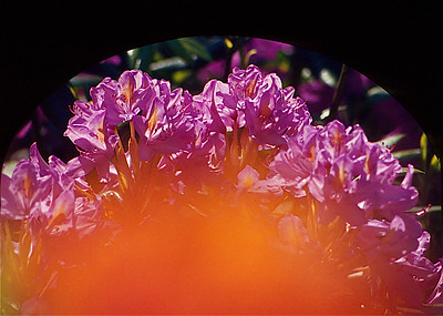 Azaleas, orange & pink