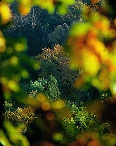Autumn Trees, Boxhill, Surrey