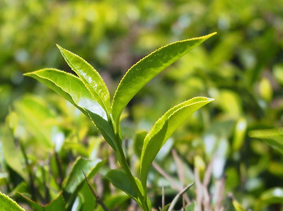 Young Tea Leaves