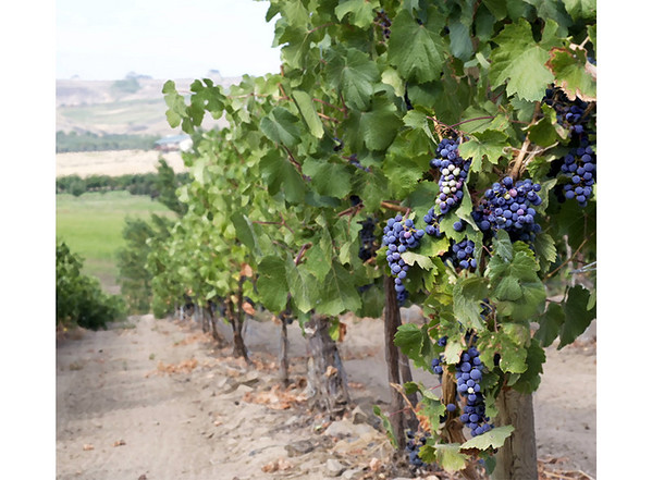 Cabernet September<br /> Yakima River Canyon, Washington<br /> <br /> 02-197