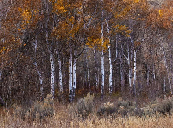 Autumn aspen<br /> Yakima River Canyon, Washington<br /> <br /> 02-230