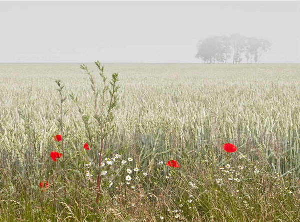 Poppies in the korn<br /> Baltic Coast, Germany<br /> <br /> 02-232