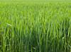 Spring hay<br /> <br /> 02-246
