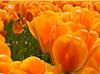 Tulipfest #9<br /> <br /> 02-136