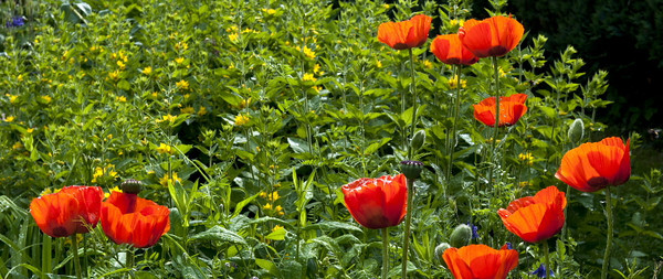 Sabine's poppies<br /> <br /> 03-110