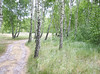 Birch meadow<br /> Baltic Coast, Poland<br /> <br /> 02-192