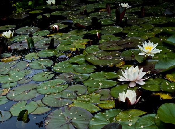 Lotus pond I<br /> <br /> 02-223