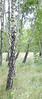 Birch meadow II<br /> Baltic Coast, Poland<br /> <br /> 04-042