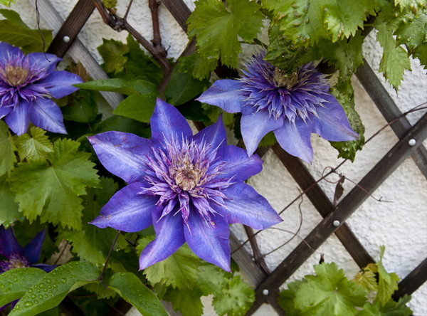 Clematis #1<br /> <br /> 02-239