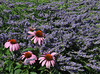 Echinacia on lavender<br /> <br /> 02-217