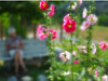 Hollyhocks #3<br /> <br /> 02-234