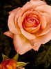 A rose of our own<br /> <br /> 01-054