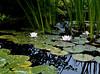 Lotus pond II<br /> <br /> 02-224