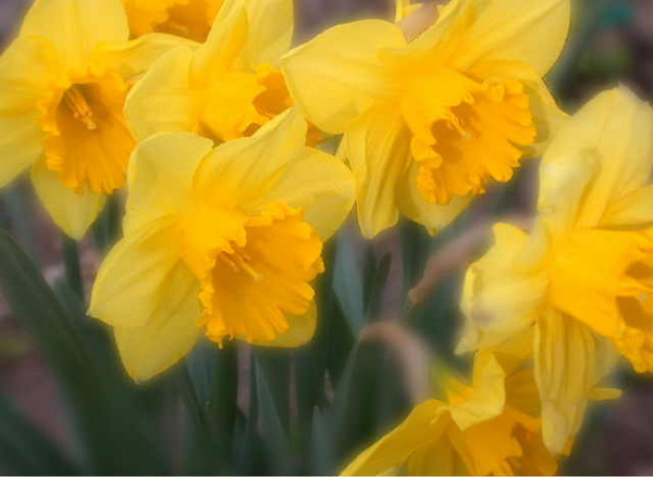 Daffodils #1<br /> <br /> 02-003