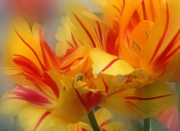 Fog  tulips V<br /> <br /> 02-077