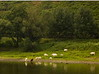 Cows grazing at river's edge<br /> <br /> 02-144