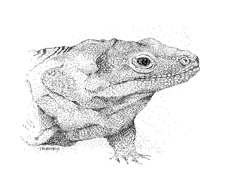 """""""Iguana"""" (pen and ink) by George Tachtiris"""