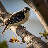 Female Downy Woodpecker in a tree in Bozeman, Montana