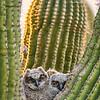 """Peek-a-Boo"" - Great-Horned Owl Chicks in Scottsdale, Arizona"