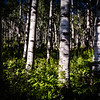 """Aspen Afternoon"" - Colorado<br /> <br /> This was photographed in the early afternoon as the sunlight filtered in down through the trees."