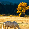 Horses at Grand Teton National Park in Wyoming during fall foliage.