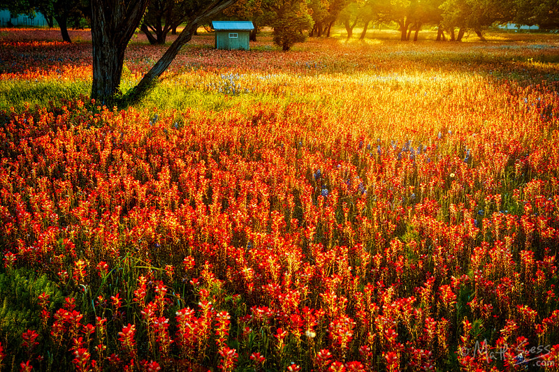 Wildflowers at sunset in the Texas Hill Country in the spring.
