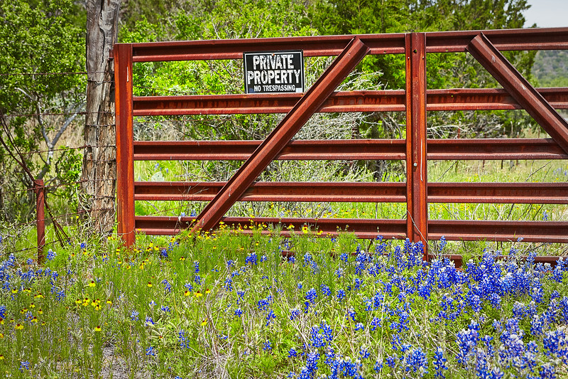 Bluebonnets along a rusted metal gate in the Texas Hill Country in the spring during peak wildflower season.