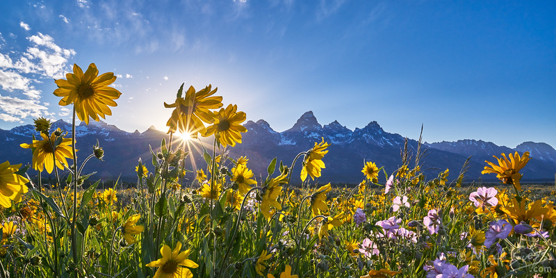 Spring wildflowers at sunset at Grand Teton National Park in Wyoming.