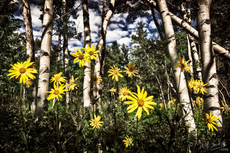 Wildlfowers and aspens in Ashcroft, Colorado