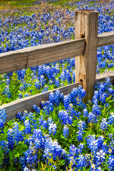 Bluebonnets along a wood fence in the Texas Hill Country in the spring during peak wildflower season.