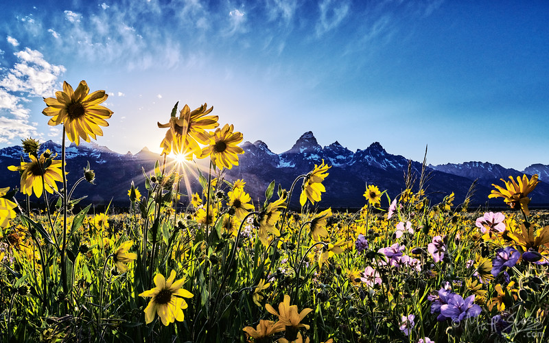 Spring wildflowers and arrowhead balsamroot at sunset at Grand Teton National Park in Wyoming.