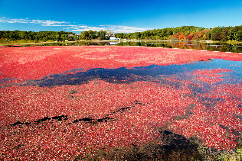 A cranberry bog in Marstons Mills run by Cranberry Cove Farm on Cape Cod, Massachusetts.