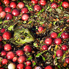 A frog in a cranberry bog in Marstons Mills on Cape Cod, Massachusetts.