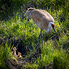 A female sandhill crane forages for food while keeping close to her young colts at their nest in Bozeman, Montana