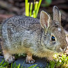 A wild baby Mountain Cottontail rabbit eats grass in the backyard of our Bozeman, Montana yard.