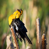 A male yellow-headed blackbird sings his heart out at sunrise while sitting on a cattail at one of the ponds at Cherry River in Bozeman, Montana.
