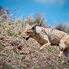 A coyote walks up a hill in Yellowstone National Park, Wyoming.