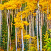 Fall foliage yellow aspens in the Sangre de Cristo Mountains in Santa Fe, New Mexico