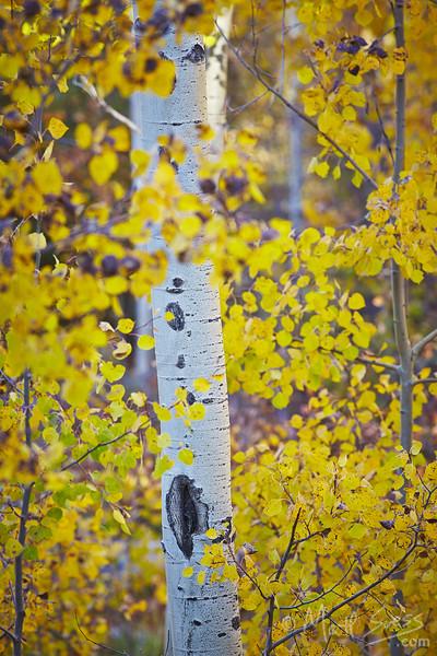 Fall foliage yellow aspens in the Sangre de Cristo Mountains in Santa Fe, New Mexico