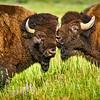 Bison at Elk Ranch Flats Turnout at Grand Teton National Park, Wyoming.