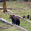 Three grizzly bear cubs with their mom in Yellowstone National Park, Wyoming.