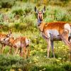 Pronghorn antelope doe and 2 fawns at Grand Teton National Park, Wyoming. Near Teton Glacier Turnout on Teton Park Road
