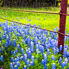 Bluebonnets along a rusted metal fence in the Texas Hill Country in the spring during peak wildflower season.
