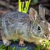 A wild baby Mountain Cottontail rabbit eats grass in the backyard of our Bozeman, Montana yard.