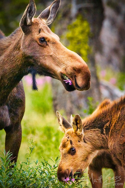Cow Moose and Calves Eating Wildflowers - Glacier National Park