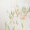 Grass grows up through the sand in Monahans Sandhills State Park in Texas.