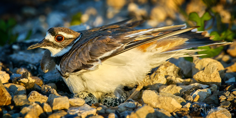 A mother Killdeer keeps her eggs warm at her nest at sunset at Lewisville Lake in Lewisville, Texas outside of Dallas.